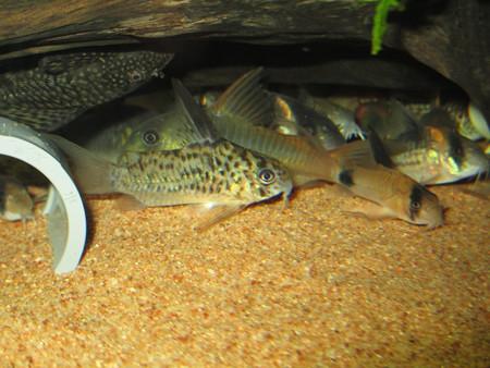 20130326 60cmコリドラス水槽のコリドラス達