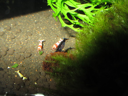 20130326 60cmエビ水槽の抱卵のブラックシャドー