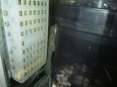 20130609 45cmプレコ水槽のブルーフィンペコルティア