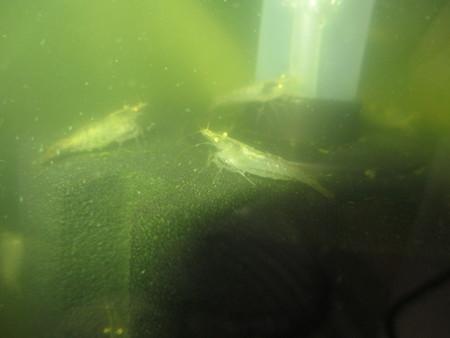 20130609 60cmベランダ水槽のミナミヌマエビ