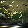 Photos: 20130809 60cmエビ水槽のたかえびのAnimalの食い付き