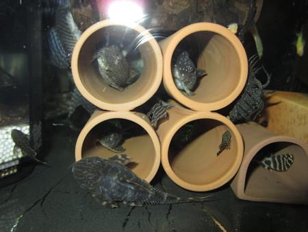 20130814 45cmプレコ水槽のプレコ達