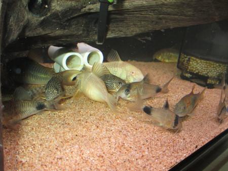 20130815 60cmコリドラス水槽のコリドラス達