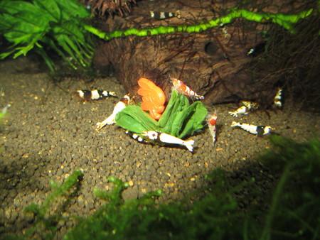 20130822 60cmエビ水槽の小松菜の食い付き
