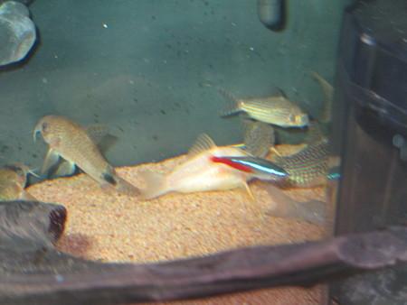 20140308 60cmコリドラス水槽のコリドラス達