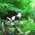 Photos: 20140328 60cmエビ水槽のブセファランドラの花