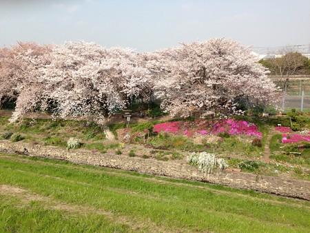 20140408 桜の遊歩道