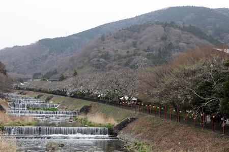箱根宮城野桜並木