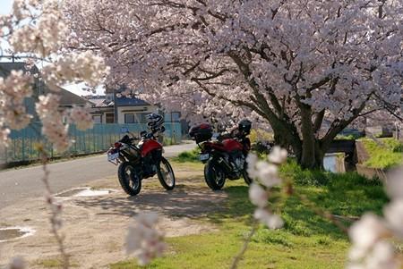 桜花見_01