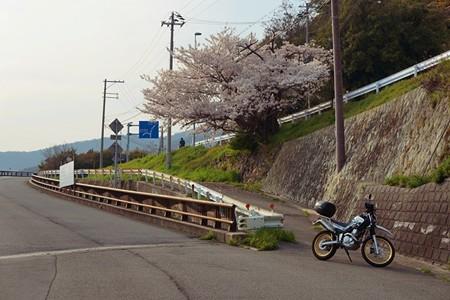 御津の桜_02