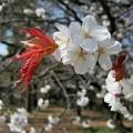 Photos: 御苑の櫻