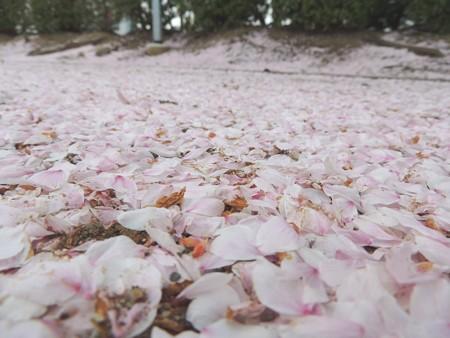 散った桜も絨毯のようで・・・