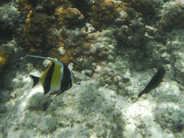 サイパン マリアナリゾートホテルの珊瑚礁 ツノダシ