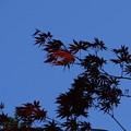 Photos: Japanese Maple