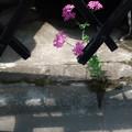 Photos: 片隅の花