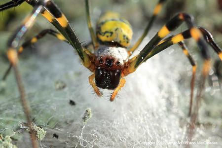 ジョロウグモ