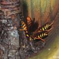 Photos: セグロアシナガバチ