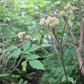 2012.07.29大山220大山のお花達