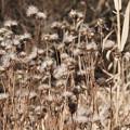 写真: 冬のアザミ軍団…