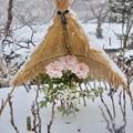 Photos: 冬ぼたん