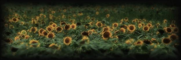 過ぎにし夏:向日葵