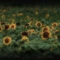 Photos: 過ぎにし夏:向日葵