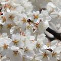 1254圓明寺の枝垂れ桜