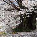 1255乳母桜