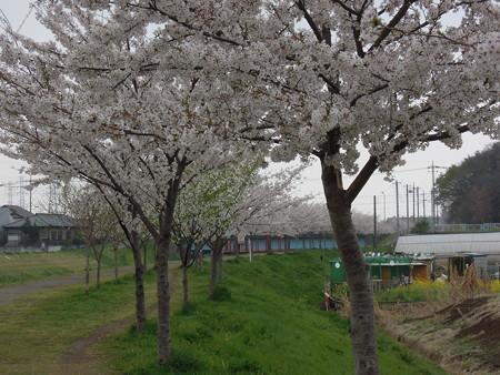 黒目川の桜 01