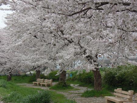 黒目川の桜 03