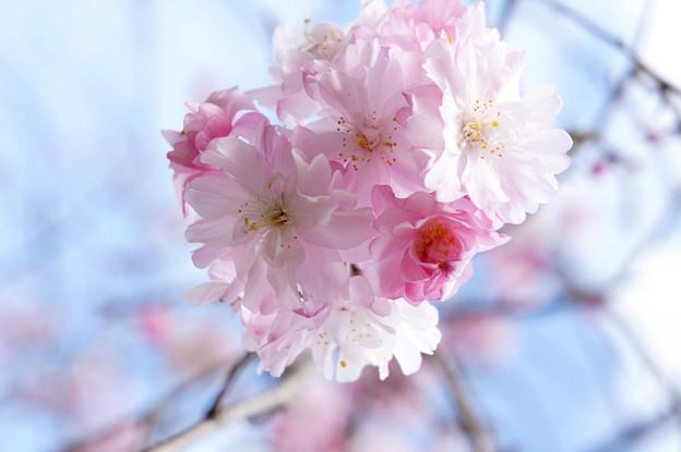 写真: DSC02742 桜