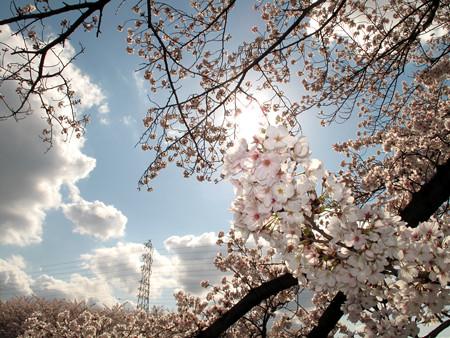 IMG_7730 香流川桜