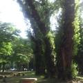 公園の主~3本の巨木~