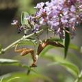 ハラビロカマキリ幼虫(2012/08/19 愛知・東山植物園)