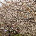 写真: 飛鳥山公園の桜?