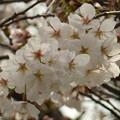 飛鳥山公園の桜?