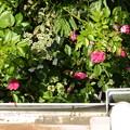 春バラとガクアジサイ