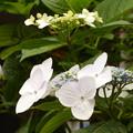 Photos: 咲き並ぶ