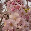 Photos: 2010年のしだれ桜?