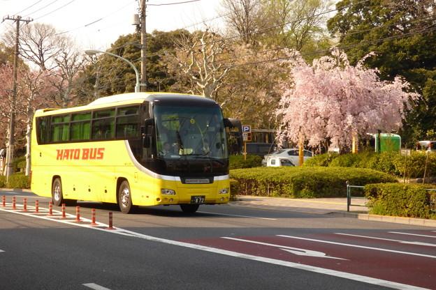 Photos: はとバスとしだれ桜