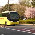 写真: はとバスとしだれ桜