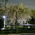 写真: 夜のしだれ桜?