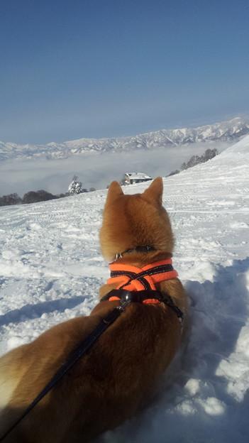 柴犬 IN Nゲレンデ(3)