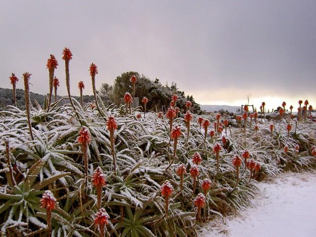 爪木崎の雪景色とアロエ(静岡県下田市)