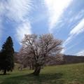 西蔵王の桜?