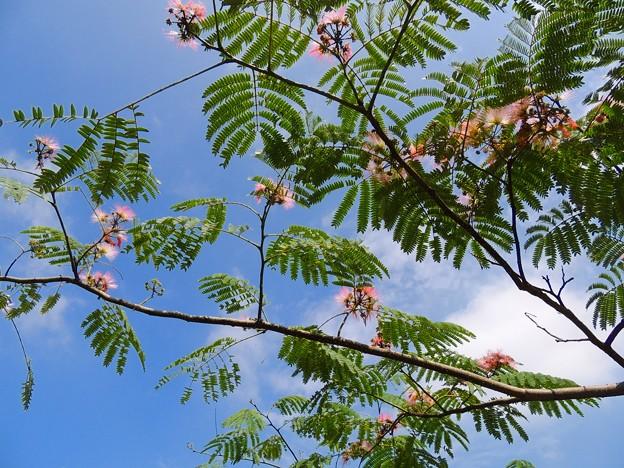初夏(ねむの木)