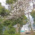 Photos: 春…桜花