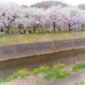 春の小川(1)2014