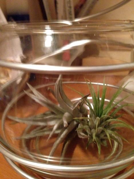 金魚鉢の中のエアプランツさん