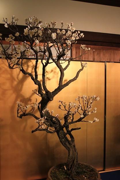 IMG_0991大阪天満宮・大盆梅展・野梅